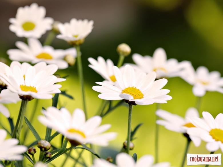 Ромашка - чудо, а не квітка !!!