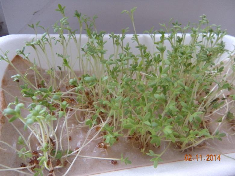 Історія про те, як я мікрозелень вирощувала